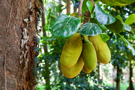 Jackfruit tree with big ripe fruits in India