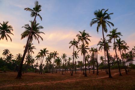 Piękne palmy kokosowe w wiosce Arambol na północy Goa w Indiach o zachodzie słońca