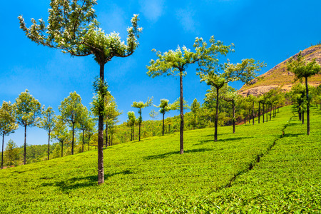 Amazing landscape view of tea plantation nature background