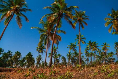 Beauty coconut palms in Arambol village in north Goa in India at night