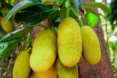Jackfruit tree with big ripe fruits in India