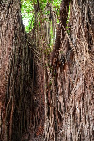 Big banyan or indian ficus tree in Goa in India