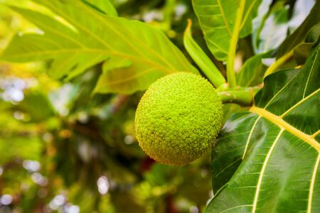 Big and ripe fruits on the breadfruit tree in Asia