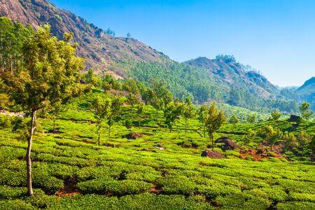 Amazing landscape view of tea plantation nature background