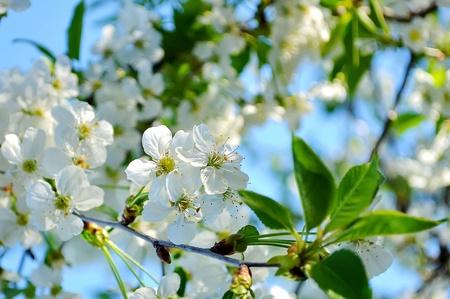 cherry blossoms Stock Photo - 13734883
