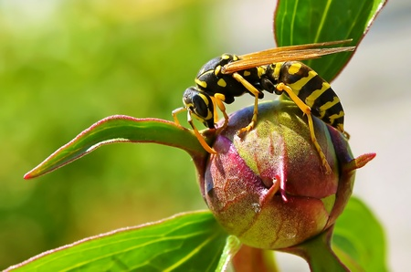 wasp and flover peony Stock Photo - 15412645