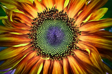 sunflower seed: girasole