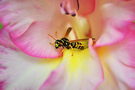 macro shot of a bee pink flower Stock Photo