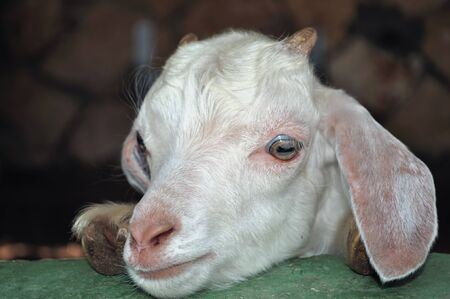 thoughtful look young goat Stock Photo - 16451073