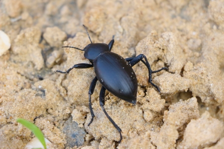 approximate picture dung beetle in nature Stock Photo - 16657288