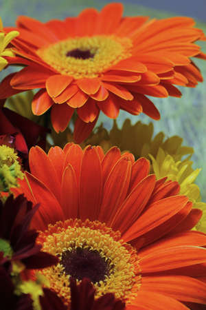 pair of orange color gerbera flowers in a festive bouquet