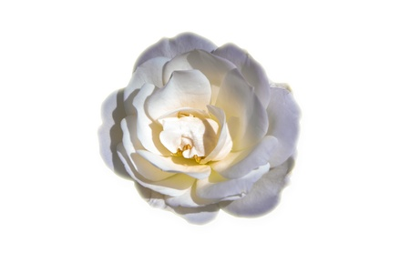 Isolated rose on white background