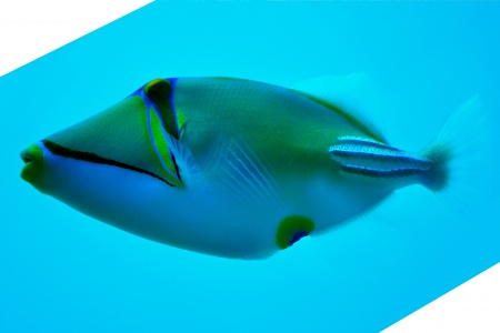 triggerfish: filefish