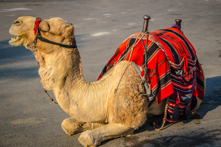 Bedouin camel in Israel near the Dead Sea