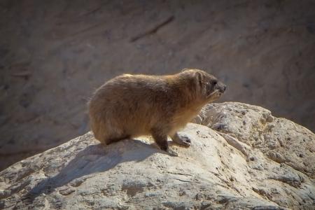 ein: rock hare on a boulder in Ein Gedi