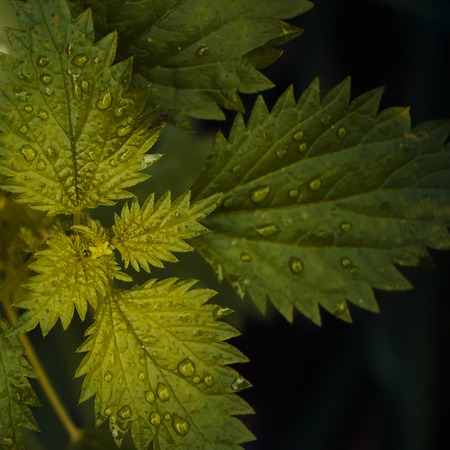 For lovers of style close-up.  Nettles.