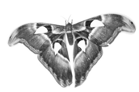 butterfly in black and white style. isolated on white background.