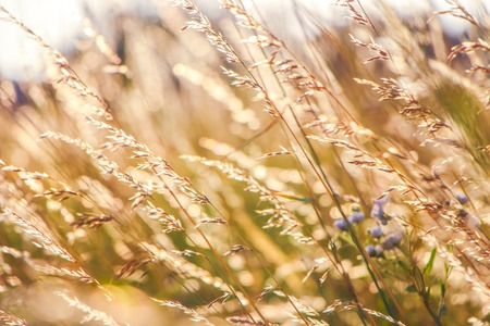 Golden Grain of Wild wheat on sunrise close up, soft sun rays and glimpses, warm toning.