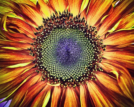 Beautiful large decorative sunflower with large red and yellow petals and large seeds