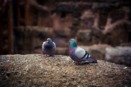 Two cute wild pigeon on the ancient walls of Coliseum