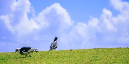 Two pigeon on green grass against the sky 版權商用圖片