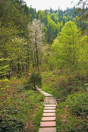 wooden footpath downhill in forest in the spring 版權商用圖片