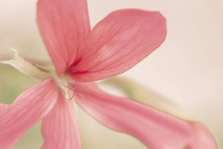 A delicate pink lily with long petals and a very thin stamen. Isolate.