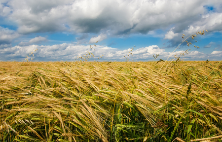 wheat spike on the background of the field and sky Stock Photo