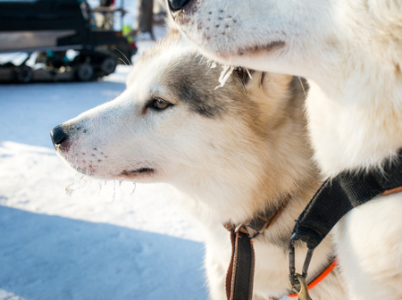 Two Siberian husky Stock Photo