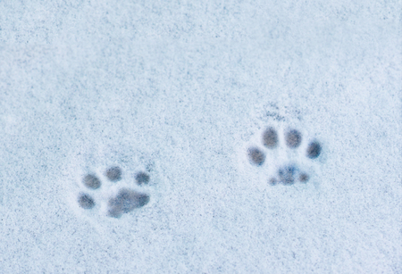 footprints cat in the snow Stock Photo