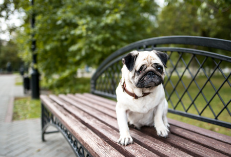 sad one-eyed dog pug at the park Stok Fotoğraf
