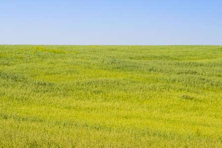 green wheat texture. selective focus Stock Photo