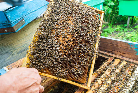 Beekeeper and frame with honeycombs from the hive