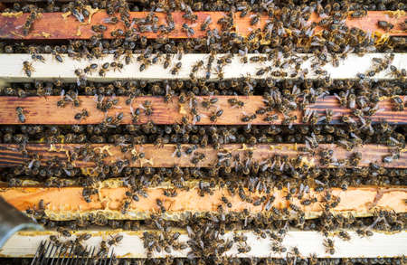 Bees in a hive on a frame
