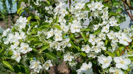 The spring blooming apple tree Standard-Bild