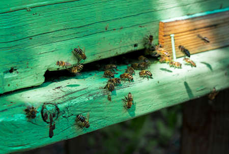 The bees near the green hive
