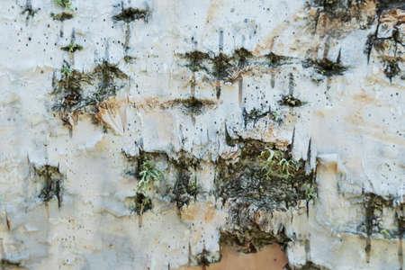 The birch texture birch bark