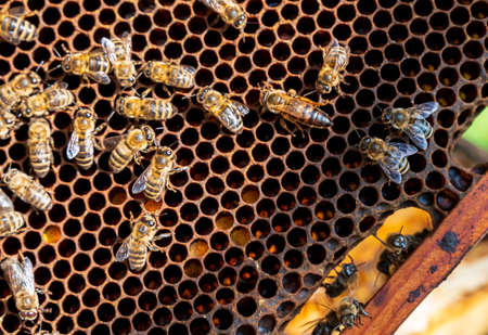 Honeycomb frame with bees and queen on sunny day