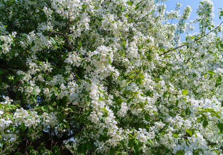 Blooming apple tree. White flowers Standard-Bild