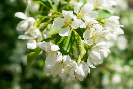 The spring blooming apple tree. Selective focus