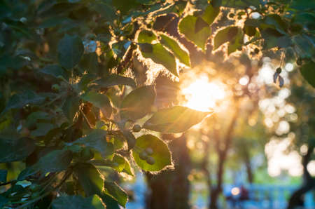 Ray of the setting sun through the leaves tree