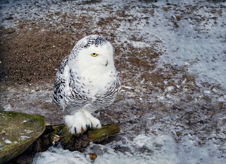 White Owl on a stump in the forest
