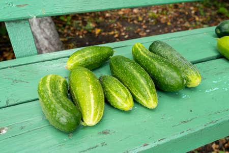 Lots of juicy cucumbers on rustic bench. Fresh harvest Standard-Bild