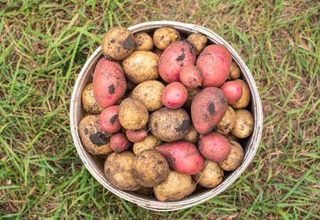 Bucket full of potatoes. Fresh harvest