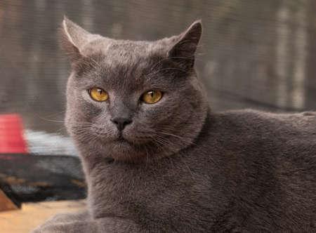 British breed cat sitting on the street Standard-Bild