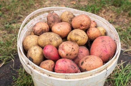 Bucket full of potatoes. Fresh harvest. Selective focus