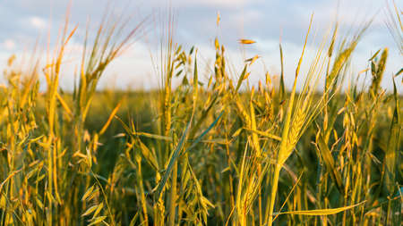 Wheat spikelets in the field at sunset. Selective focus.