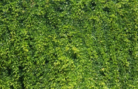 Green leaves wall Stock Photo - 12927725