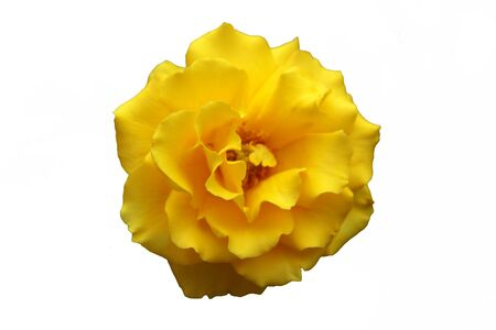 Single yellow rose isolated on white