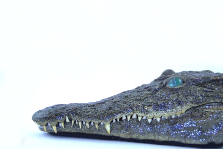 Stuffed head of crocodile on white